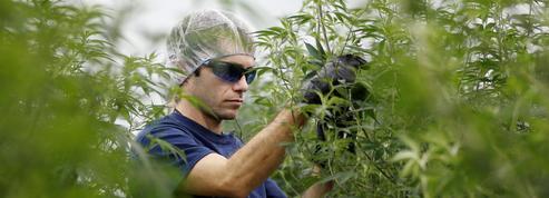 La légalisation du cannabis fait fleurir les start-up au Canada