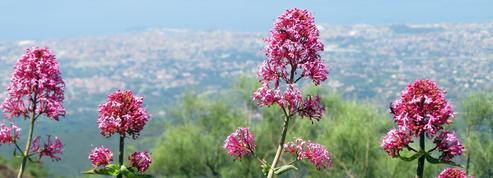 Valériane pourpre, abondance de fleurs
