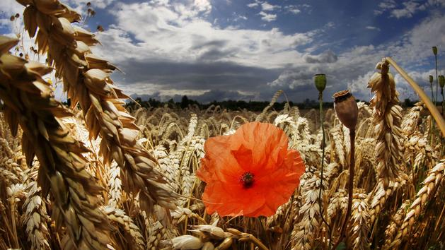 Coquelicot, fleur du sommeil et de la guerre