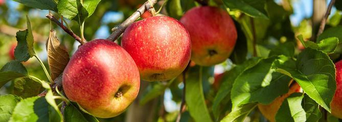 Pommier, l'un des plus anciens arbres fruitiers