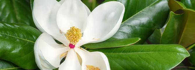 Magnolia à feuillage persistant, un trésor venu d'Amérique