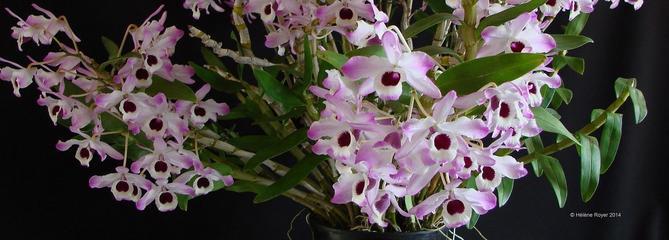 Dendrobium, l'orchidée qui n'aime pas (trop) la chaleur