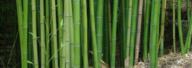 Bambous traçants : comment les éradiquer ?