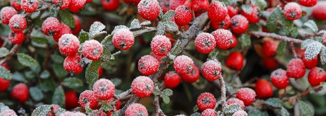 Haie: quels arbustes résistent à des températures de -20°C?