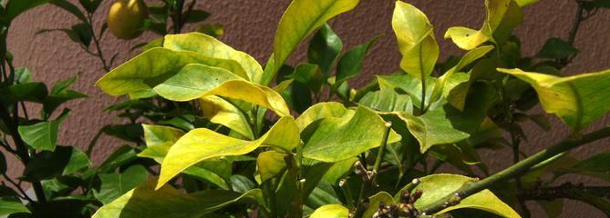 Jaunissement du citronnier: est-ce une carence en fer ?