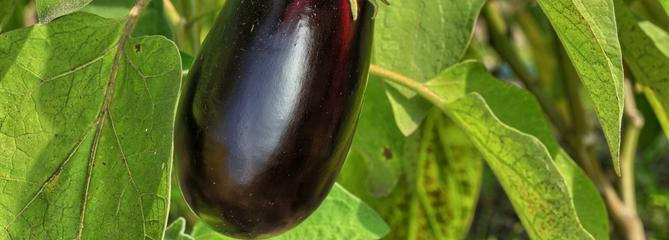 Aubergine, un légume d'été allergique au froid
