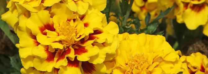 Œillet d'Inde, fleur de potager et de massif