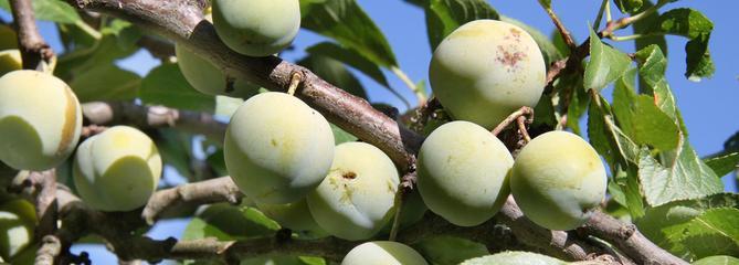 Prunier, l'arbre fruitier aux milles facettes