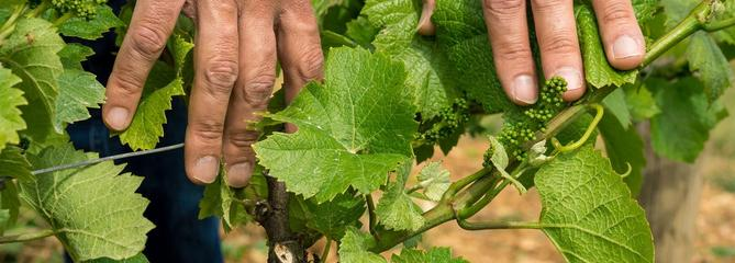 Pourquoi ma vigne fait-elle des fleurs mais pas de raisins ?