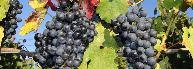 Vigne: des raisins sucrés pour la table