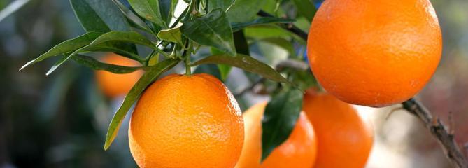 Citrons et agrumes: des astuces pour bien les faire pousser