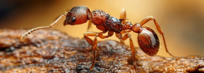 Les fléaux biologiques : la fourmi électrique, une minuscule guerrière