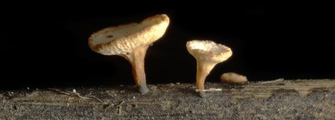 Les fléaux biologiques : le champignon de la chalarose dévore les frênes