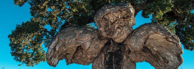 Un étonnant chêne-liège corse élu «arbre de l'année» 2018