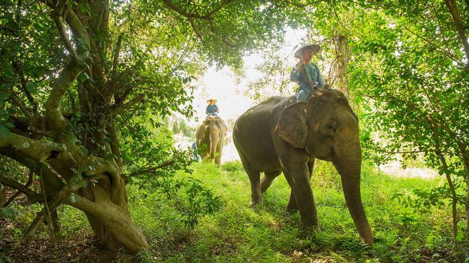 C'est parti pour une expérience inoubliable à travers la jungle. D'un pas tranquille Phuang Peth en profite pour choper branchages et herbes hautes.