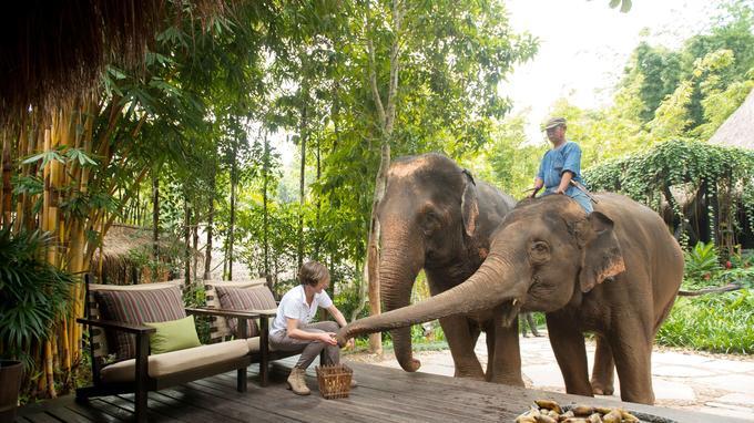 A l'heure du petit déjeuner du Four Seasons, les éléphants se joignent aux hôtes pour une collation de bananes au restaurant Nong Yao.