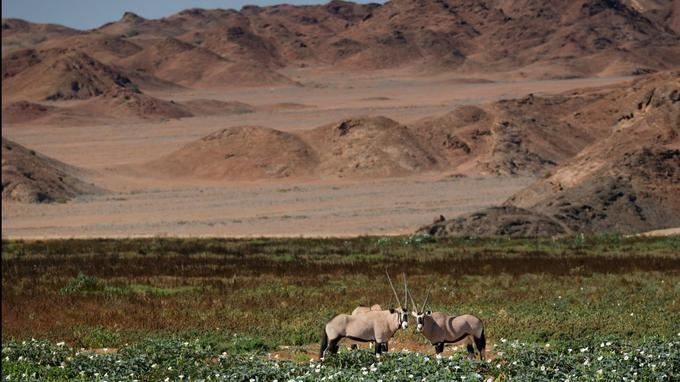 Dans ce gigantesque carcan minéral, l'adaptation est une question de survie. Les oryx sont dotés d'un système veineux qui agit comme un échangeur thermique, refroidissant leur sang surchauffé avant qu'il n'atteigne leur cerveau.