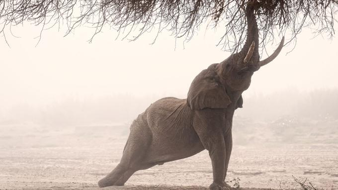 Seuls deux pays abritent une population de pachydermes adaptés au désert. Le Mali et la Namibie. Ces éléphants peuvent survivre deux ou trois jours sans boire.