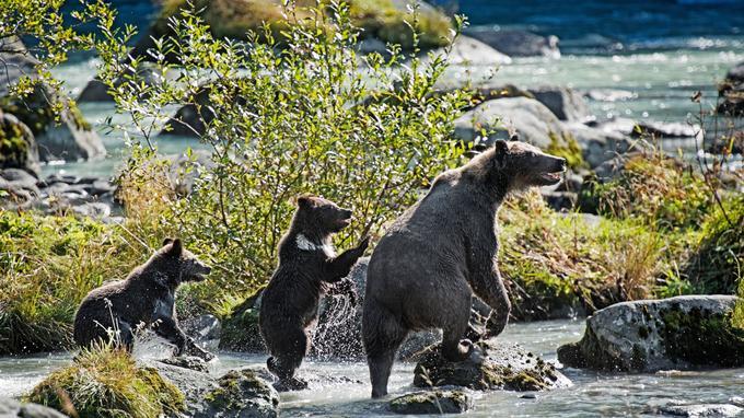 Craint et adulé, l'ours reste un seigneur du Grand Nord que tous les voyageurs rêvent d'apercevoir. Ici, coup de chance, une mère grizzly et ses deux petits dans un torrent près de Haines.