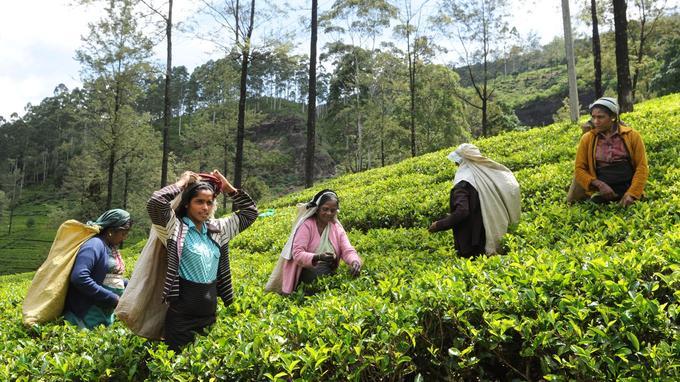 Les grandes plantations de thé couvrent les collines du centre du pays. La récolte des feuilles est, par tradition, l'affaire des femmes tamoules. Moisson qui sera ensuite traitée sur place dans une manufacture.