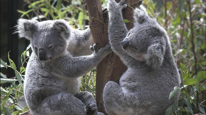 Le koala, symbole de l'Australie, doit son nom à la langue aborigène et signifie «ne boit pas». La raison est simple, son hydratation provient à 90% des feuilles d'eucalyptus dont il se nourrit exclusivement.