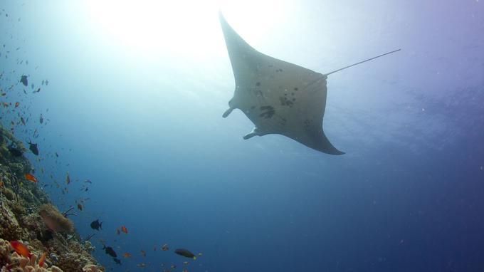 Plonger au milieu des mantas, autour des atolls de Malé ou d'Ari.