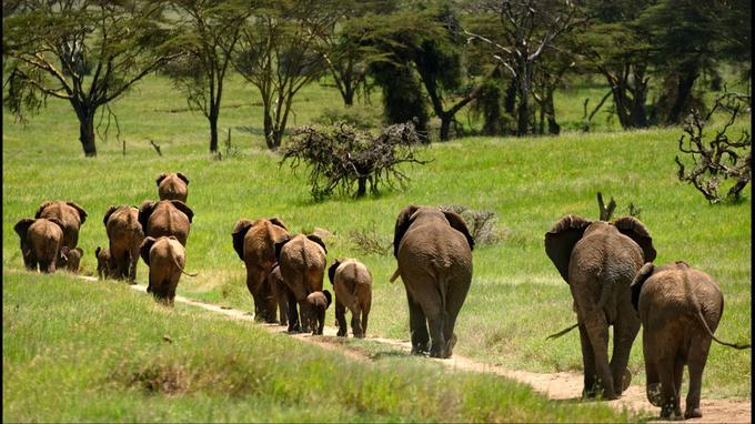 Une harde d'éléphants trottine sur une piste de Lewa Downs, une des plus belles réserves privées du Kenya.