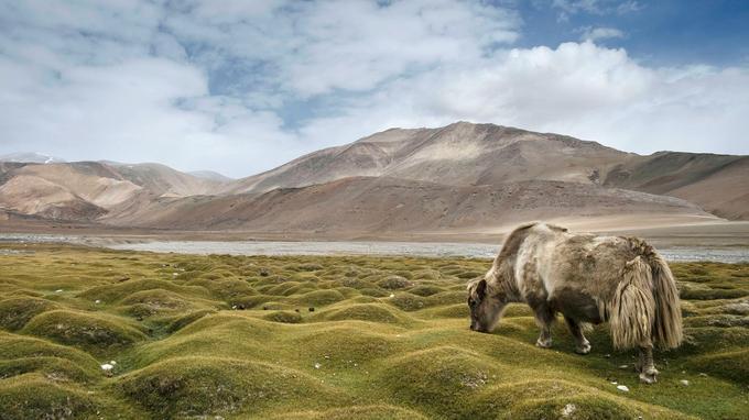 Alpage de Korzok Phu, aux abords d'un camps de nomades ... Insensible à la majesté du paysage, un yak broute une herbe rase.