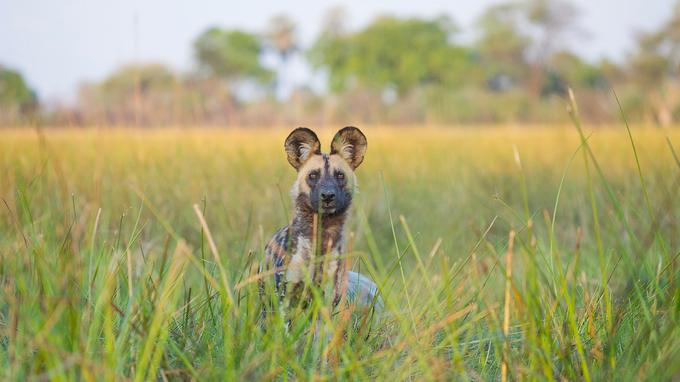 Deux oreilles de Mickey surgissent des herbes. C'est un lycaon, suivi de sa meute, qui observe l'intrus. Curieux, il s'approchera pour renifler le photographe.