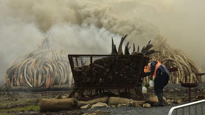Un homme de prépare à mettre le feu à un tas de cornes de rhinocéros.