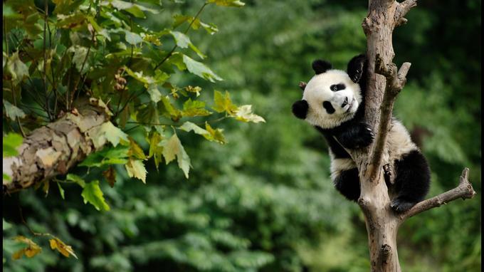 Dans la Vallée des pandas près de Chengdu, un jeune spécimen à la charmante indolence surpris en pleine ascension.