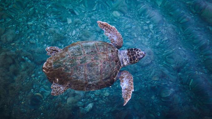 Nombreuses à fréquenter le port, il n'est pas rare de rencontrer une tortue caouanne nager à fleur d'eau.