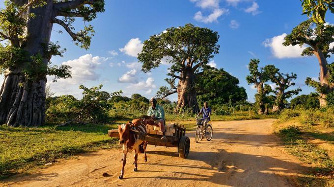 Dans la forêt de baobabs de Kwareni, transport de blocs de corail blanc extraits des mines à ciel ouvert. Ces pierres fossiles sont le matériau principal de construction en dur à Pemba.