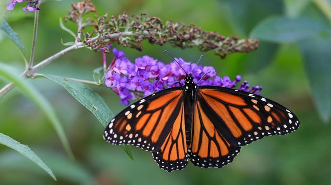 Le papillon monarque parcourt plus de 4 000 kilomètres vers le sud jusqu'au Mexique pour hiverner.