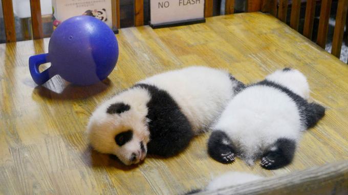 Deux bébés panda en Chine