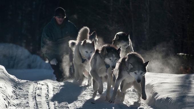 Pour faire une pause après le rythme frénétique du ski-doo, rien de mieux qu'une virée dans la forêt avec les chiens de traîneau.