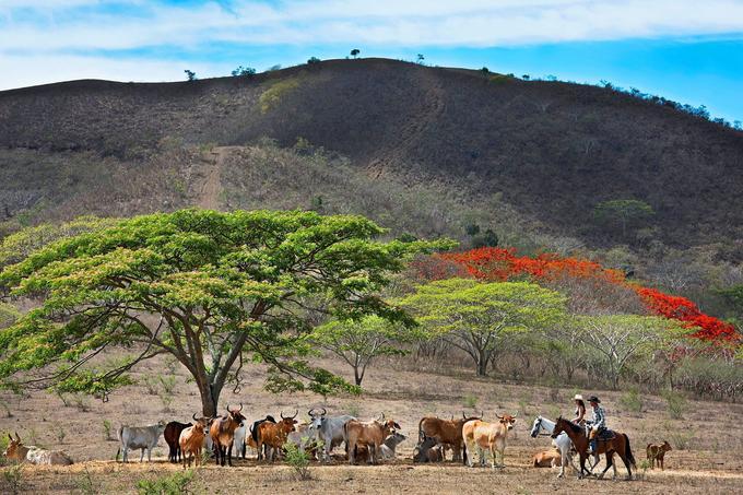 Quand, au zénith, la chaleur est trop forte, le large houppier d'un bois noir d'Haïti réconforte bétail et cavaliers.