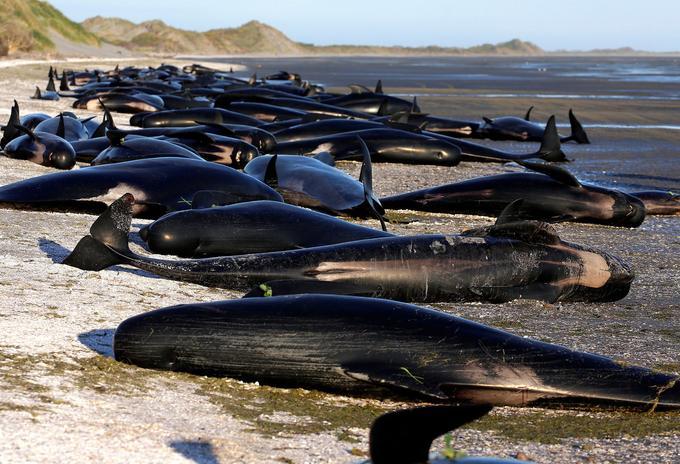 Vendredi, 300 baleines sur plus de 400 échouées étaient déjà mortes.