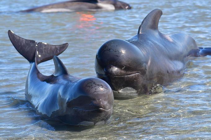 Une baleine mère et son enfant sont encore en vie.