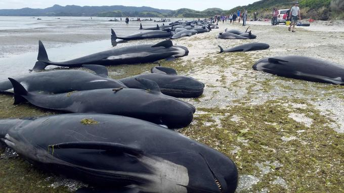 Neuf échouages massifs de baleines-pilotes ont eu lieu en 10 ans sur la plage de Farwell Spit. Les raisons sont inconnues.
