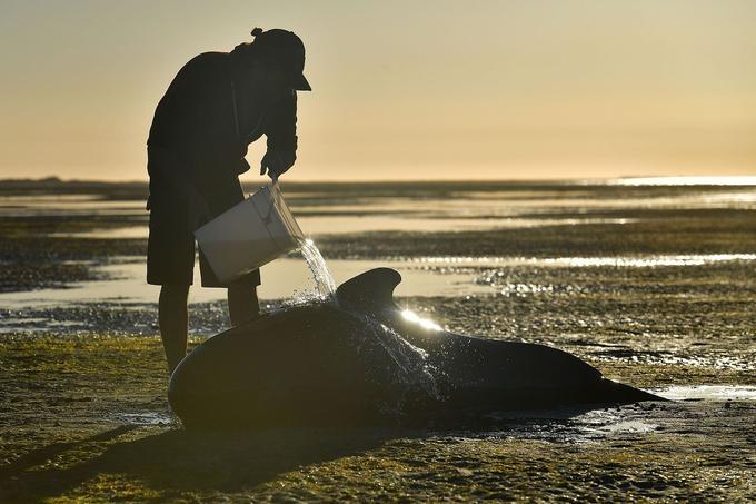 Un homme donne de l'eau à une baleine échouée. Il est difficile de les ramener à la mer.