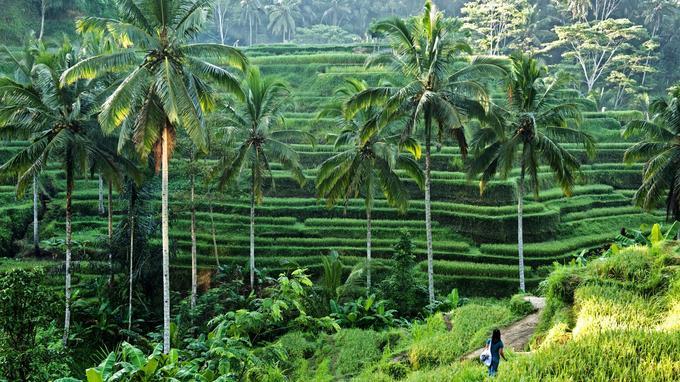 En contrebas du village de sculpteurs sur bois de Tegallalang, des rizières escarpées s'accrochent aux flancs d'une étroite vallée.
