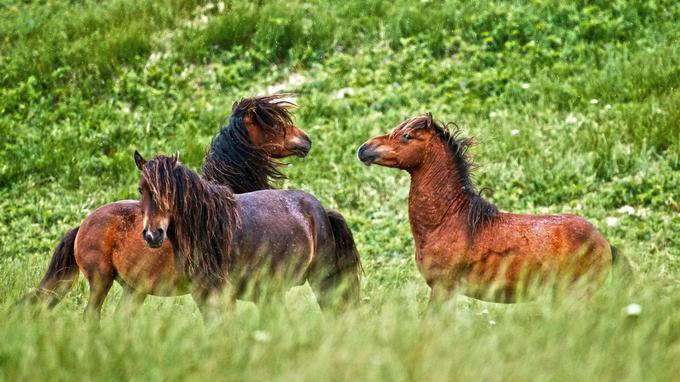 Le demi-millier de chevaux de Sable Island survit depuis des décennies, dans des conditions climatiques extrêmement rudes et sans l'aide de l'homme.