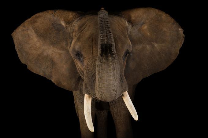 L'éléphant d'Afrique, comme le rhinocéros, sont exterminés pour servir de trophées de chasse ou de remèdes dans la médecine traditionnelle.