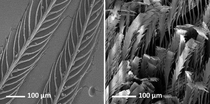 Les structures des plumes classiques (à gauche) et «super-noires» (à droite) sont très différentes.