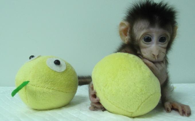 Hua Hua, l'un des deux singes clonés par une équipe de scientifiques chinois.