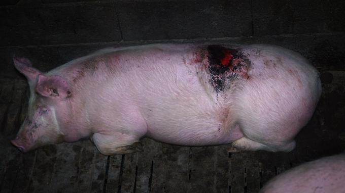 Des cochons blessés restent au milieu des autres.