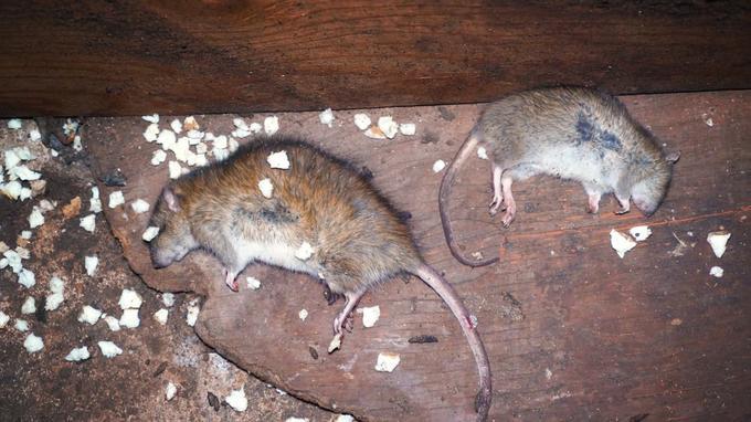 Les rats pullulent.
