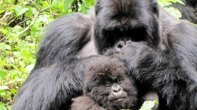 Gorilles des montagnes au Rwanda