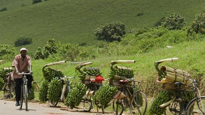 Des vélos chargés de régimes de bananes vertes en Ouganda
